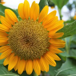 A short poem on Sunflower