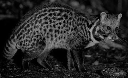 Civet, a short poem