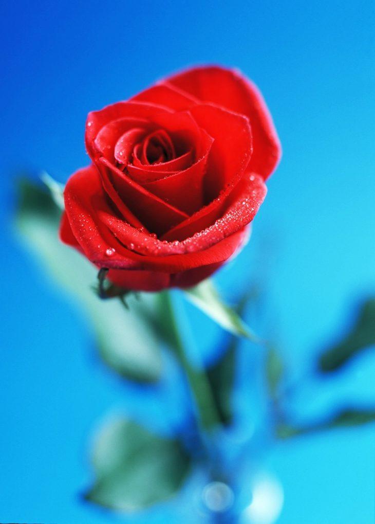 Rose, poemtheart.com