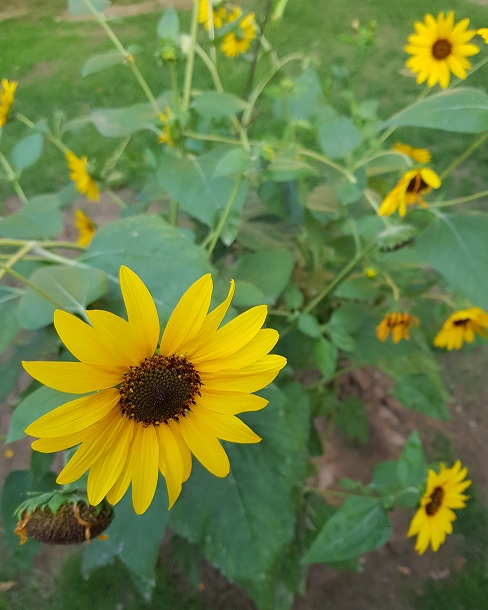 Limerick Poem: Sunflower