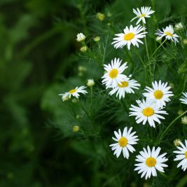 Poem on Daisy Flower