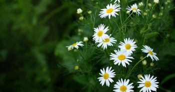 Poem on Daisy Flower